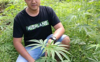 каннабис в Таиланде