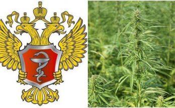 Марихуана в России